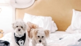 Dogs dressed up in wedding attire